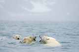 Polar Bears Play with One Another, Spitsbergen, Svalbard, Norway Photographic Print by Steve Kazlowski
