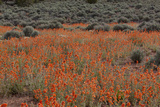 Apricot Globemallow, (Sphaeralcea Ambigua), Burr Trail Road, Utah, USA Photographic Print by Frank Zurey