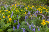 Spring Wildflowers in the Columbia Gorge Near Rowena, Oregon, USA Photographic Print by Chuck Haney