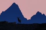 Elk in Sunset Silhouette at Teton Mt, Grand Teton NP, Wyoming, USA Photographic Print by Tom Norring