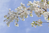 Cherry Blossoms Against Blue Sky, Seabeck, Washington, USA Photographic Print by  Jaynes Gallery