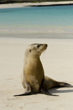Galapagos Sea Lion on the Beach, San Cristobal, Galapagos, Ecuador Photographic Print by Cindy Miller Hopkins