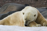 Close-Up of Polar Bear Sleeping on Snow, Svalbard, Norway Photographic Print by  Jaynes Gallery