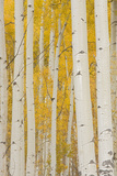 Aspen Trees, White River National Forest Colorado, USA Photographic Print by Charles Gurche