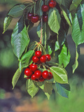 Close-Up of Cherries Hanging in Tree, Mosier, Oregon, USA Photographic Print by  Jaynes Gallery