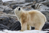 Polar Bear on Snow Surrounded by Dark Rocks and Snow, Svalbard, Norway Photographic Print by  Jaynes Gallery