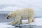 Polar Bear on Sea Ice Stepping across Water, Svalbard, Norway Photographic Print by  Jaynes Gallery