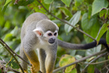 Wild Squirrel Monkey in Tree, Ile Royale, French Guiana Photographic Print by Cindy Miller Hopkins