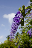 Island Wisteria Flowers, Ile Royale, Salvation Islands, French Guiana Photographic Print by Cindy Miller Hopkins