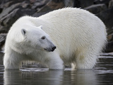 Close-Up of Polar Bear Standing in Water, Svalbard, Norway Photographic Print by  Jaynes Gallery