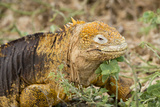 Land Iguana, North Seymour, Galapagos, Ecuador Photographic Print by Cindy Miller Hopkins