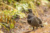Spruce Grouse in Glacier National Park, Montana, USA Photographic Print by Chuck Haney