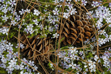 Tufted Phlox and Ponderosa Pine Cones, Washington, USA Photographic Print by Charles Gurche