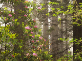 Rhododendrons Blooming in Groves, Redwood NP, California, USA Photographic Print by Jerry Ginsberg