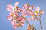 Pink Dogwood Blossoms Against Blue Sky, Seabeck, Washington, USA Photographic Print by  Jaynes Gallery