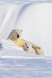 Polar Bear with Her Spring Cub Outside their Den, ANWR, Alaska, USA Photographic Print by Steve Kazlowski