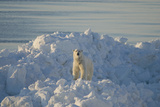 Polar Bear Adult on a Snow Bank, Chukchi Sea, Alaska, USA Photographic Print by Steve Kazlowski