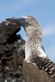 Blue-Footed Booby on Lava Rock, Black Turtle Cove, Galapagos, Ecuador Photographic Print by Cindy Miller Hopkins