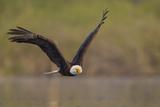 Bald Eagle (Haliaeetus Leucocephalus) in Flight, Washington, USA Fotografiskt tryck av Gary Luhm