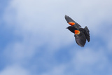 Red-Winged Blackbird (Agelaius Phoeniceus) in Flight, Washington, USA Photographic Print by Gary Luhm