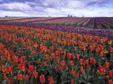 Orange and Purple Tulips, Skagit Valley, Washington, USA Photographic Print by Charles Crust