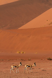 Springbok, Near Sossusvlei, Namib-Naukluft National Park, Namibia Photographic Print by David Wall