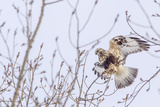 Rough-Legged Hawk in Winter in Flathead Valley, Montana, USA Photographic Print by Chuck Haney