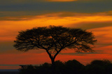 Sunrise over Acacia Trees, Etosha National Park, Namibia Photographic Print by David Wall
