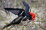 Magnificent Frigate Bird in Courtship Display, Galapagos, Ecuador Photographic Print by Kymri Wilt