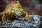 Land Iguana of South Plaza Island, Galapagos, Ecuador Photographic Print by Kymri Wilt