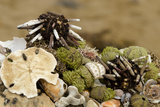 Urchins, Sand Dollars, and Shells, Floreana, Galapagos, Ecuador Photographic Print by Cindy Miller Hopkins