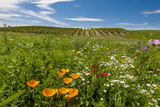 Wildflowers in Walla Walla Wine Country, Walla Walla, Washington, USA Photographic Print by Richard Duval