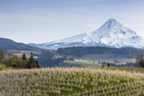 Apple Orchard in Blood with Mount Hood in the Background, Oregon, USA Photographic Print by Chuck Haney