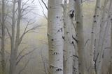 Aspen Trees, Dixie National Forest Boulder Mountain, Utah, USA Photographic Print by Charles Gurche