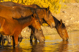 Close-Up of Wild Horses Drinking from Pond, Reno, Nevada, USA Photographic Print by  Jaynes Gallery