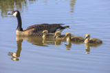 Canada Goose with Chicks, San Francisco Bay, California, USA Photographic Print by Tom Norring