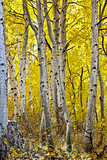 Aspen Trees Along Hwy 395/Conway Pass, California, USA Photographic Print by Joe Restuccia III