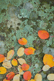 Western Serviceberry Leaves on Lichen, Riverside Sp, Washington, USA Photographic Print by Charles Gurche