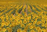 Sunflower (Helianthus Annuus), Kansas, USA Fotodruck von Michael Scheufler
