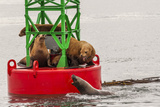 Sea Lions Resting on a Buoy, Tongass National Forest Alaska, USA Photographic Print by  Jaynes Gallery