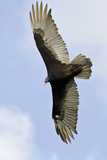 Turkey Vulture (Cathartes Aura) Searching for Food, Texas, USA Photographie par Larry Ditto
