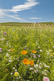 Wildflowers by Northstar's Vineyard, Walla Walla, Washington, USA Photographic Print by Richard Duval