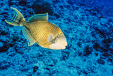 Yellowmargin Triggerfish, Blue Corner, Palau, Micronesia Photographic Print by Ali Kabas