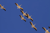 White Pelicans, Sandwich Harbor, Namib-Naukluft National Park, Namibia Photographic Print by David Wall