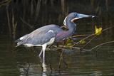 Tri-Colored Heron (Egretta Tricolor) Fishing on the Coast, Texas, USA Photographic Print by Larry Ditto