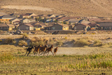 Wild Horses Running Outside Neighborhood, Reno, Nevada, USA Photographic Print by  Jaynes Gallery