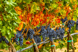 Cabernet Sauvignon Grapes Ready for Harvest, Washington, USA Photographic Print by Richard Duval