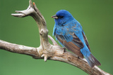 Male Indigo Bunting, Close-Up Photographic Print by Adam Jones