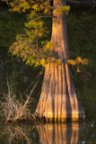 Bald Cypress (Taxodium Distichum), St Francisville, Louisiana, USA Photographic Print by Alison Jones