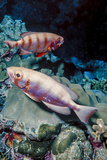 Pair of Goggle-Eyes Fish in Barnum Wall, Palau, Micronesia Photographic Print by Ali Kabas